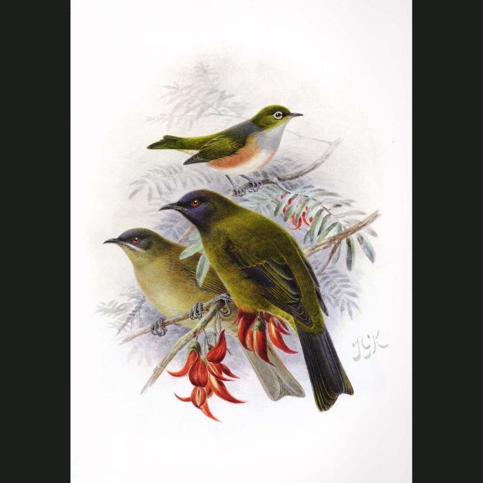 Fine art print for sale. Bellbird And Silvereye