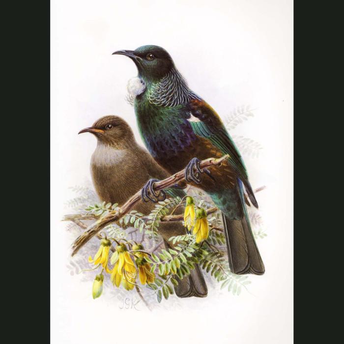 Fine art print for sale. Tui (II) (Prosthemadera Novaeseelandiae)