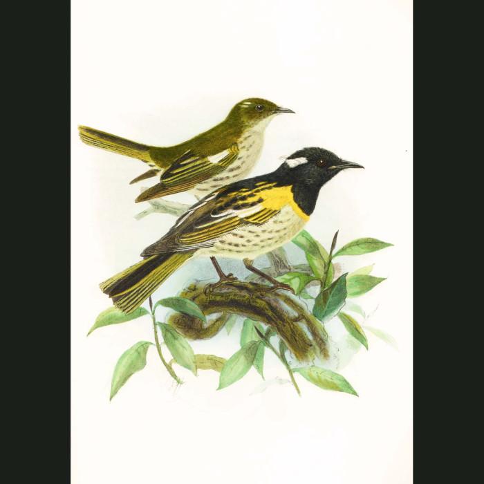 Fine art print for sale. Stitchbird Or Hihi (II)