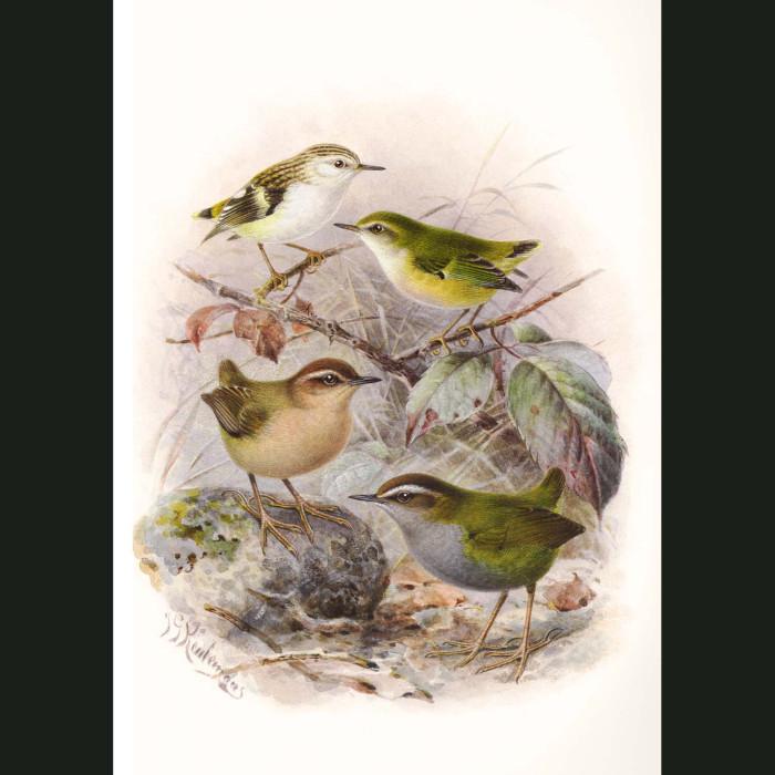 Fine art print for sale. Rifleman, Bush Wren (extinct) And Rock Wren