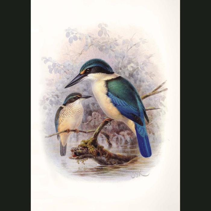 Fine art print for sale. New Zealand Kingfisher