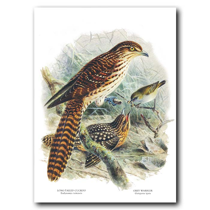 Fine art print for sale. Long Tailed Cuckoo And Grey Warbler (II)