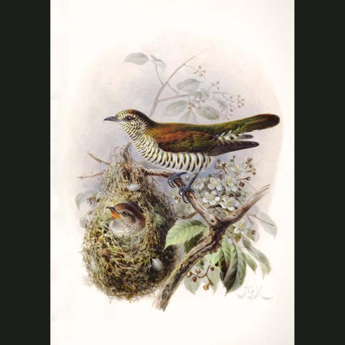 Fine art print for sale. Shining Cuckoo