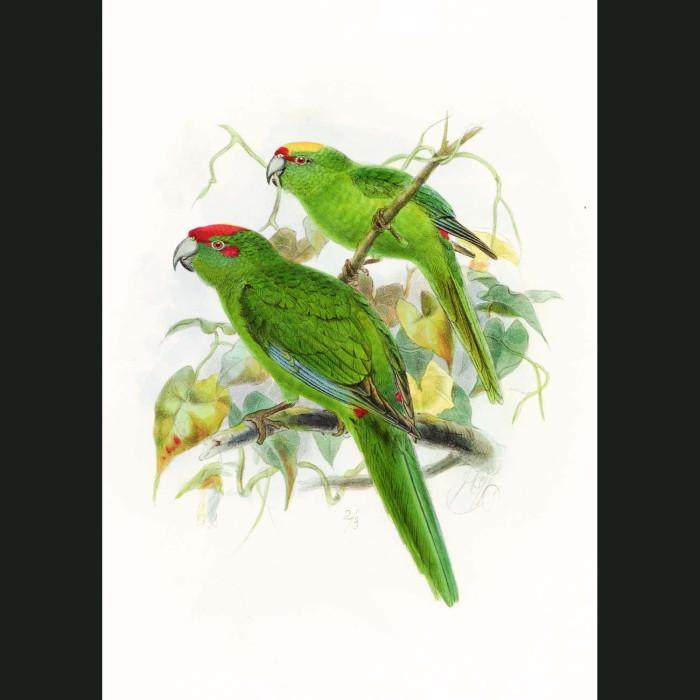 Fine art print for sale. Kakariki Parakeets (II)