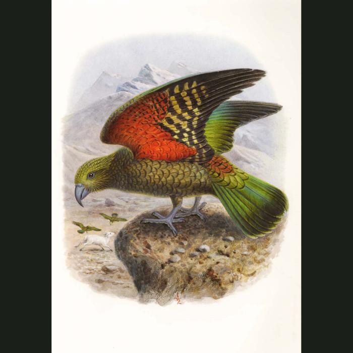 Fine art print for sale. Kea Parrots (II). Nestor Notabilis