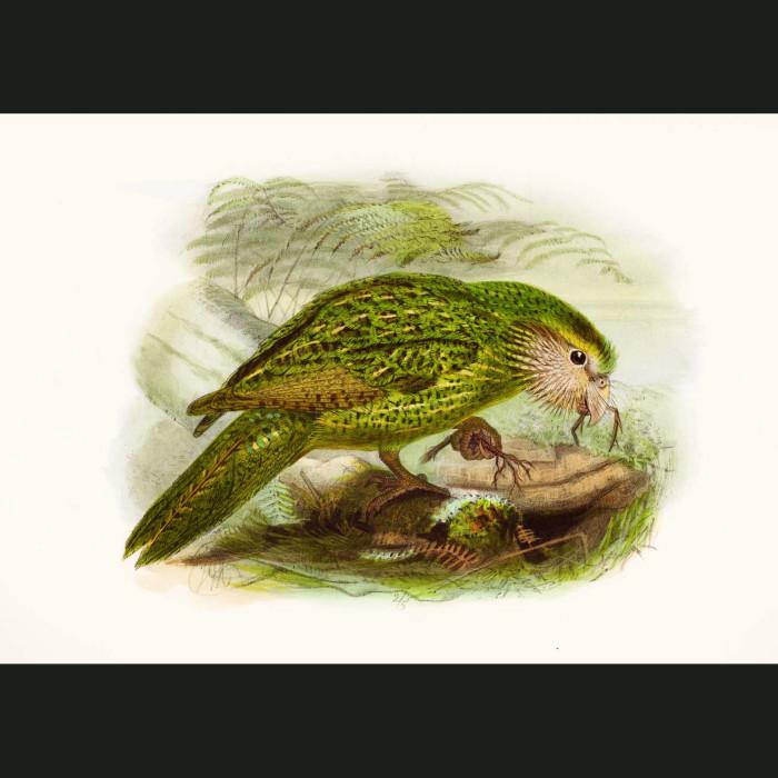 Fine art print for sale. Kakapo (Strigops Habroptilus)