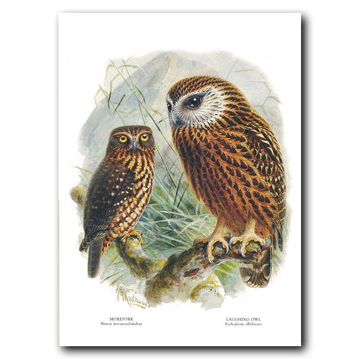 Fine art print for sale. Morepork And Laughing Owl (II)