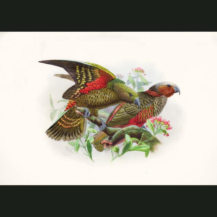 Fine art print for sale. New Zealand Falcon Or Bush-Hawk (II)