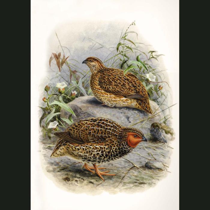 Fine art print for sale. New Zealand Quail Ii (extinct)