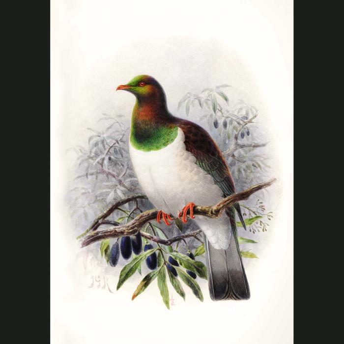 Fine art print for sale. New Zealand Pigeon (II). Hemiphaga Novaeseelandiae