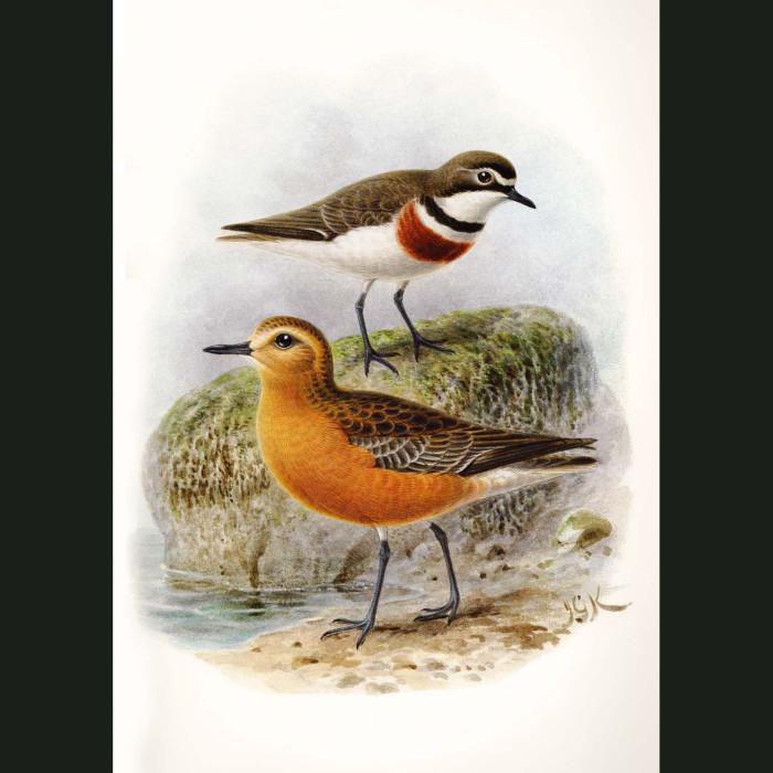 Fine art print for sale. New Zealand Dotterel And Banded Dotterel