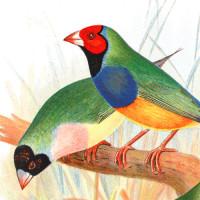 Finch Art