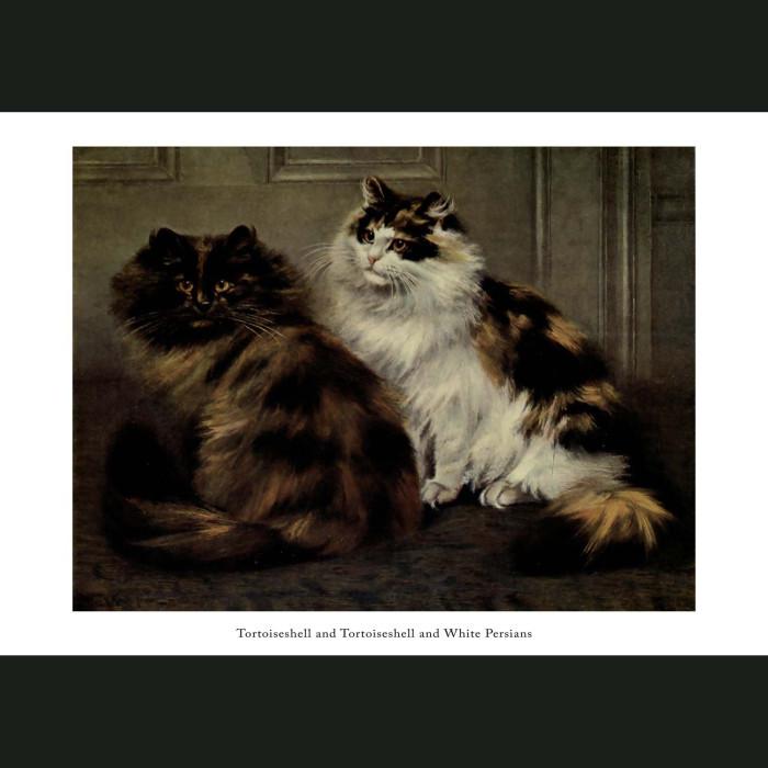 Fine art print for sale. Toroiseshell and Toroiseshell and White Persian Cats
