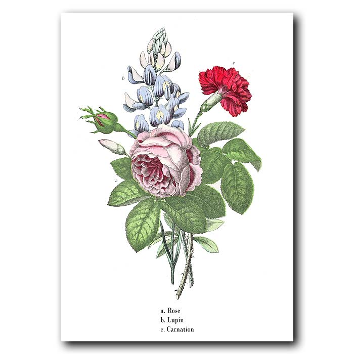 Fine art print for sale. Rose, Lupin And Carnation