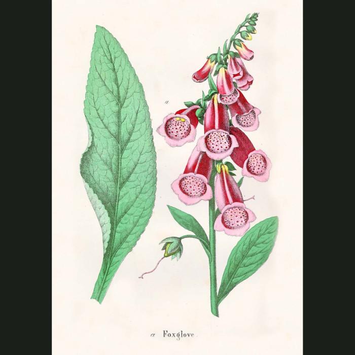 Fine art print for sale. Foxgloves