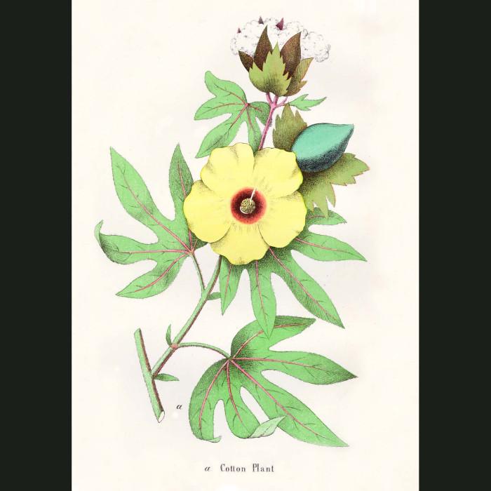 Fine art print for sale. Cotton Plant