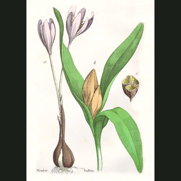 Fine art print for sale. Meadow Saffron