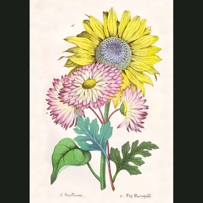 Fine art print for sale. Sunflower & Marigold