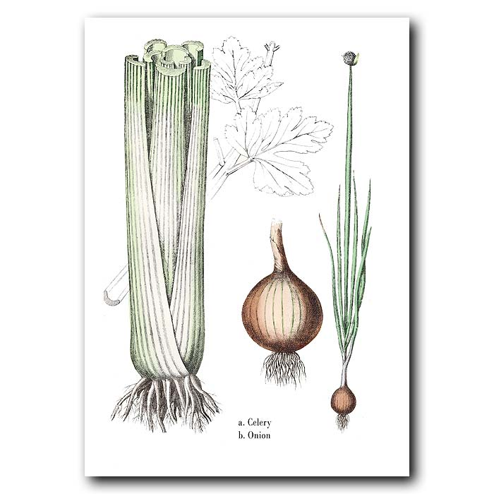 Fine art print for sale. Celery And Onion
