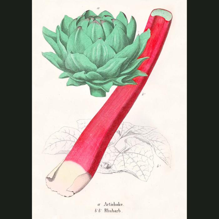 Fine art print for sale. Artichoke And Rhubarb