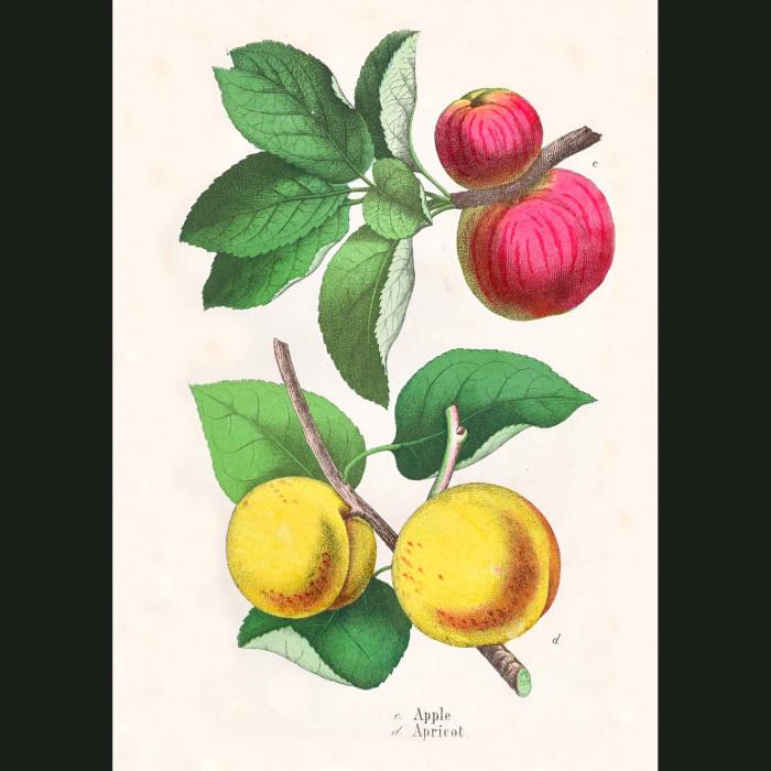 Fine art print for sale. Apple & Apricot