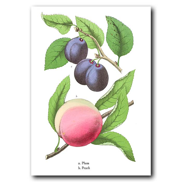 Fine art print for sale. Plums & Peach