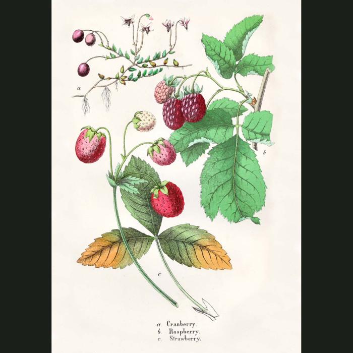 Fine art print for sale. Cranberry, Raspberry & Strawberry
