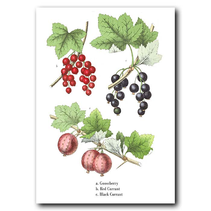 Fine art print for sale. Gooseberries, Red Currants & Black Currants