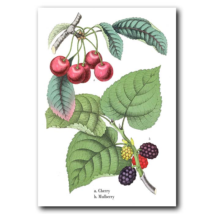 Fine art print for sale. Cherries And Mulberries