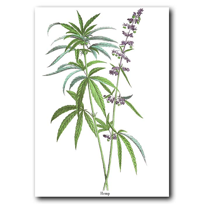 Fine art print for sale. Cannabis Plant
