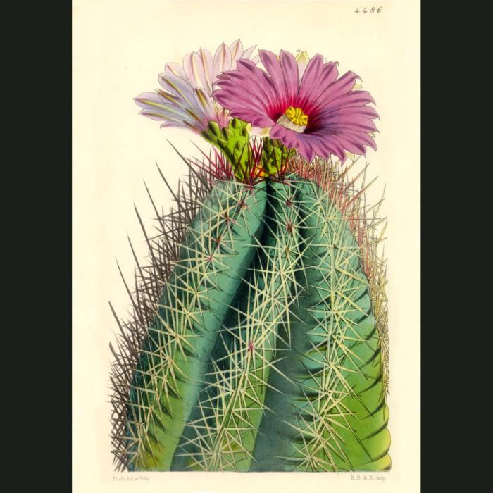 Fine art print for sale. Straw Spine Cactus