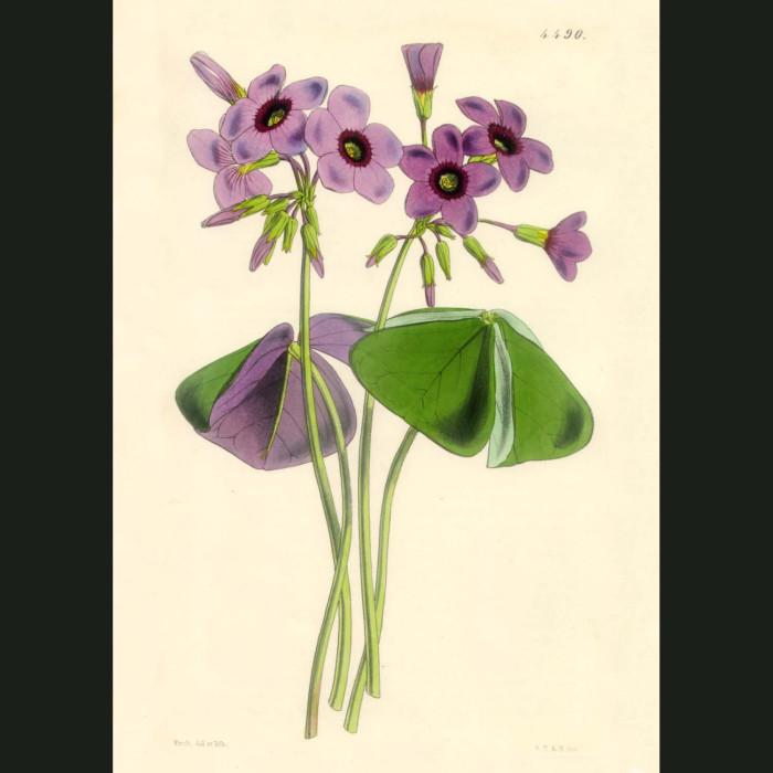Fine art print for sale. Elegant Purple Oxalis