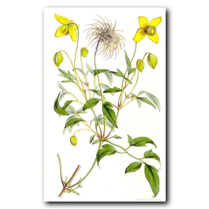 Fine art print for sale. Heavy Scented Clematis
