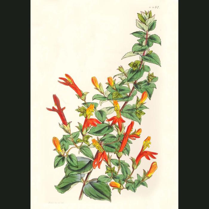 Fine art print for sale. Californian Penstemon
