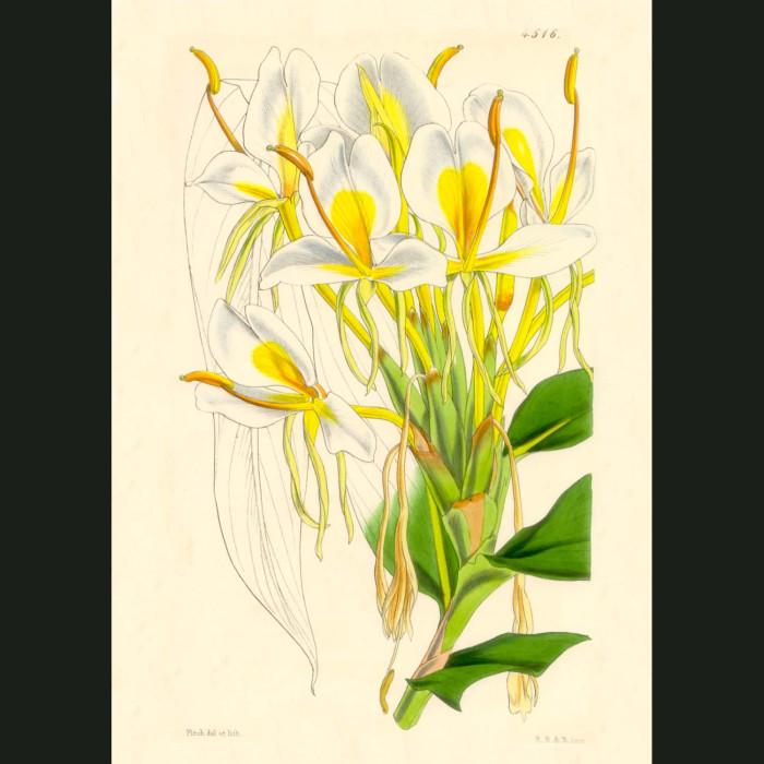 Fine art print for sale. Butterfly Ginger
