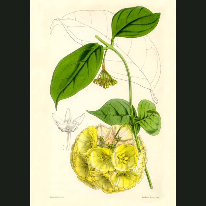 Fine art print for sale. Bell Flowered Hoya