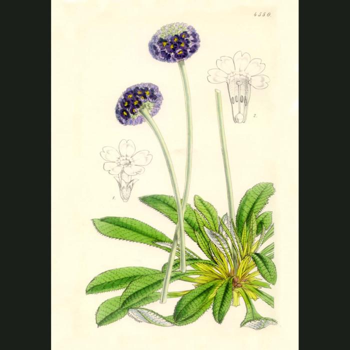 Fine art print for sale. Round Headed Primula