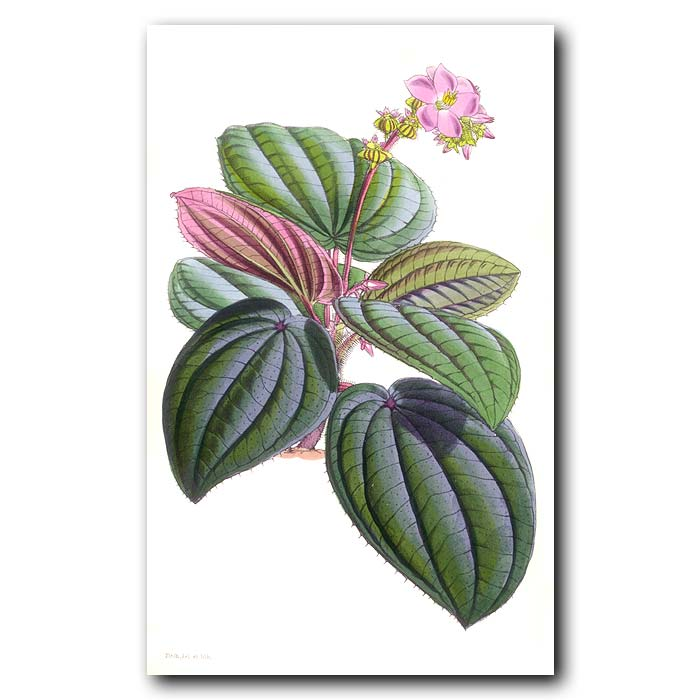 Fine art print for sale. Spotted Leaved Bertolonia