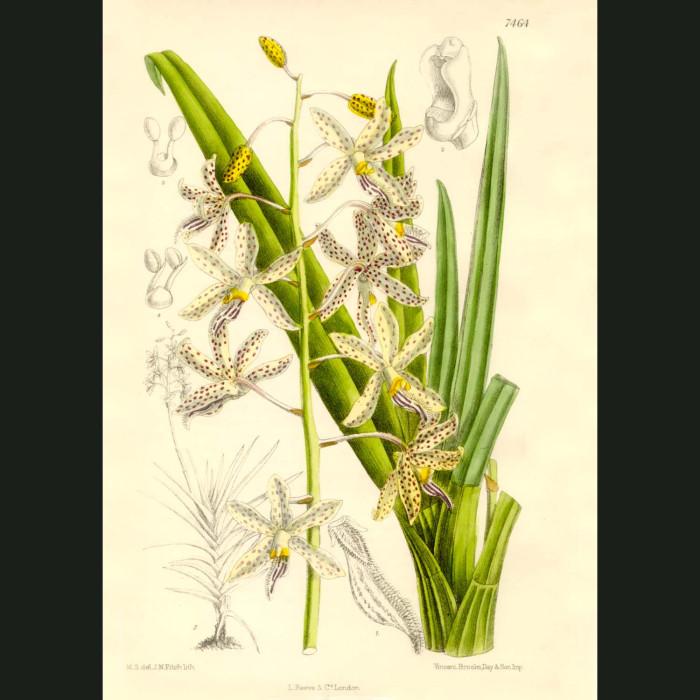 Fine art print for sale. Vanda Orchid