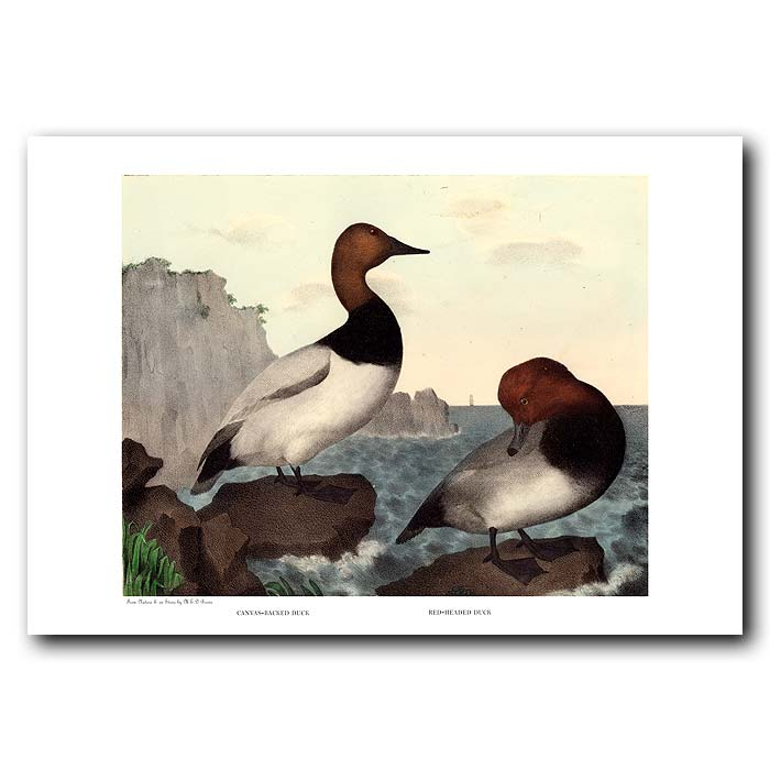 Fine art print for sale. Canvas-Backed & Red-Headed Ducks