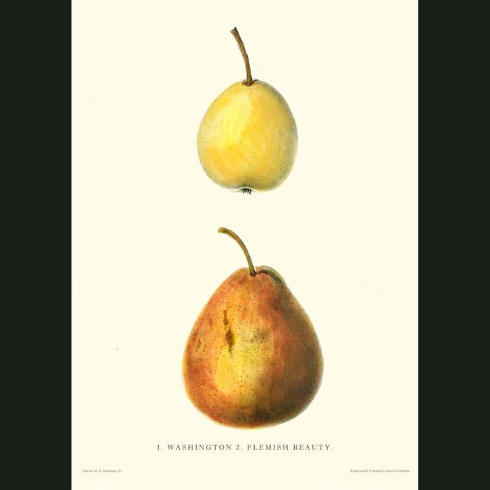 Fine art print for sale. Washington & Flemish Beauty Pears
