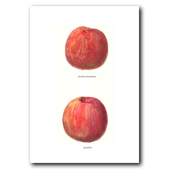 Fine art print for sale. Autumn Strawberry & Jonathan Apples