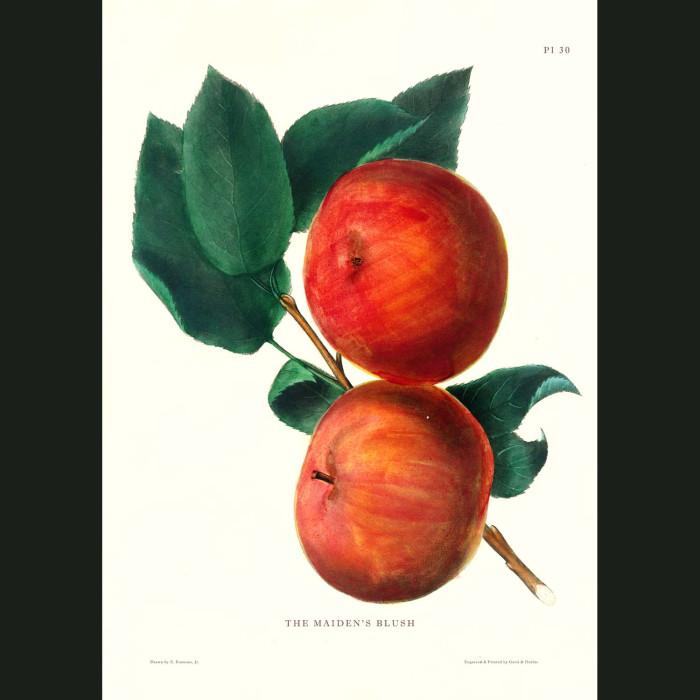 Fine art print for sale. Maiden's Blush Apples