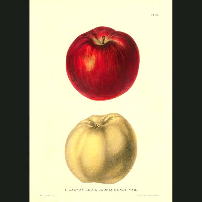 Fine art print for sale. Galway Red & Gloria Mundi Apples