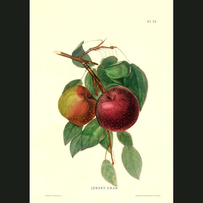 Fine art print for sale. Jersey Crab Apples