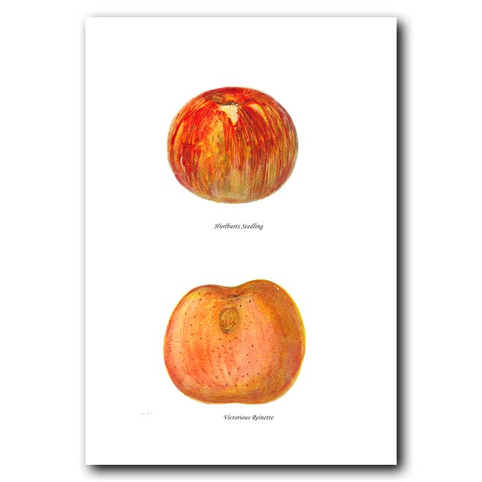 Fine art print for sale. Victorious Reinette Apples