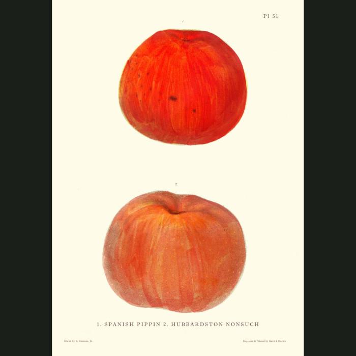 Fine art print for sale. Spanish Pippin & Hubbardston Apples