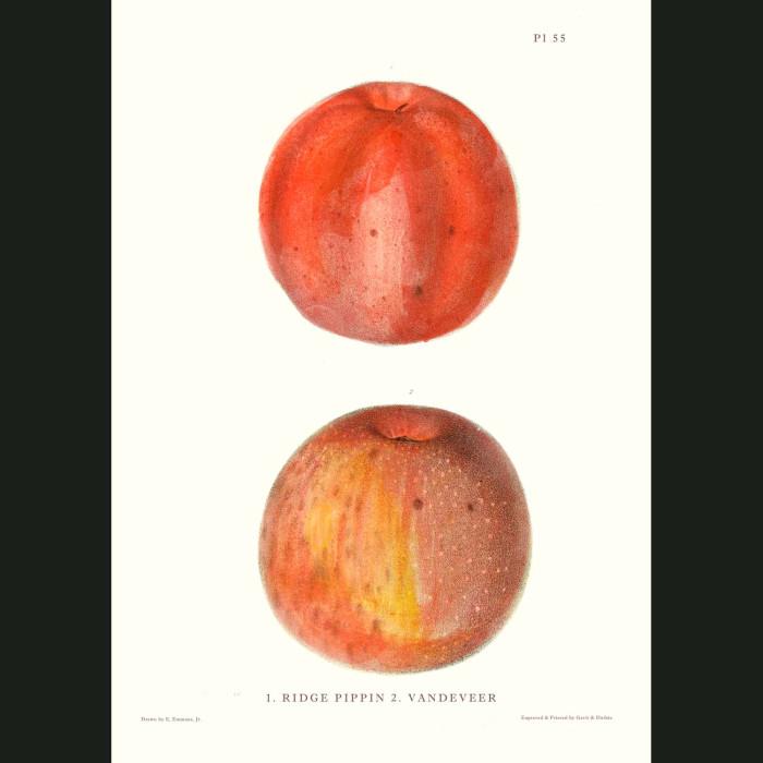 Fine art print for sale. Ridge Pippin & Vandeveer Apples