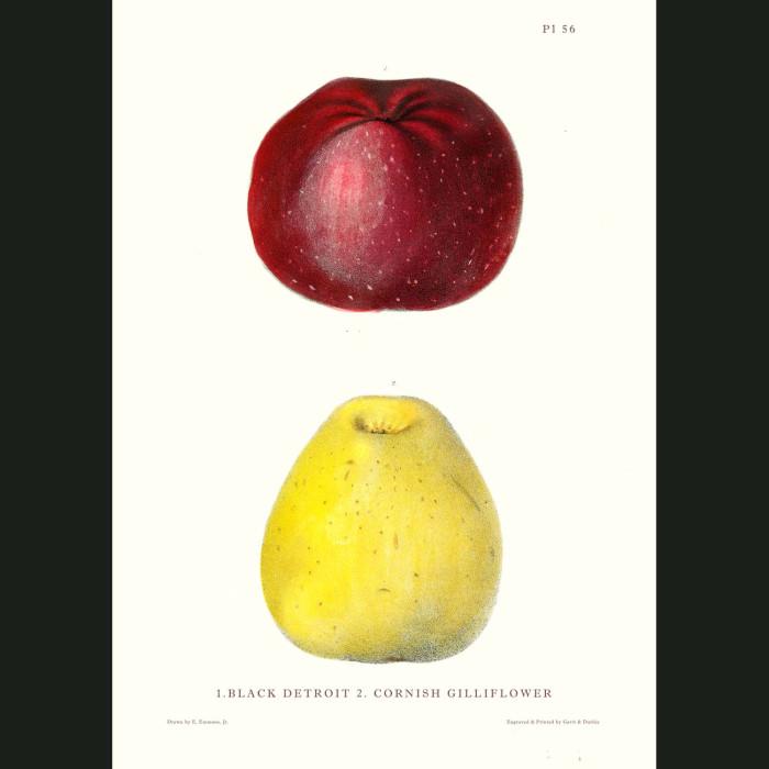 Fine art print for sale. Black Detroit & Cornish Gillflower Apples