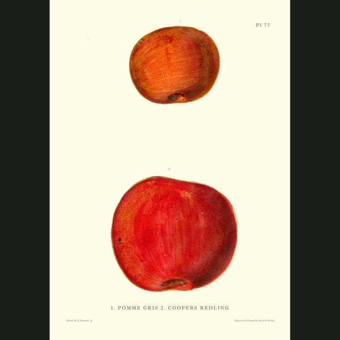 Fine art print for sale. Coopers Redling Apples